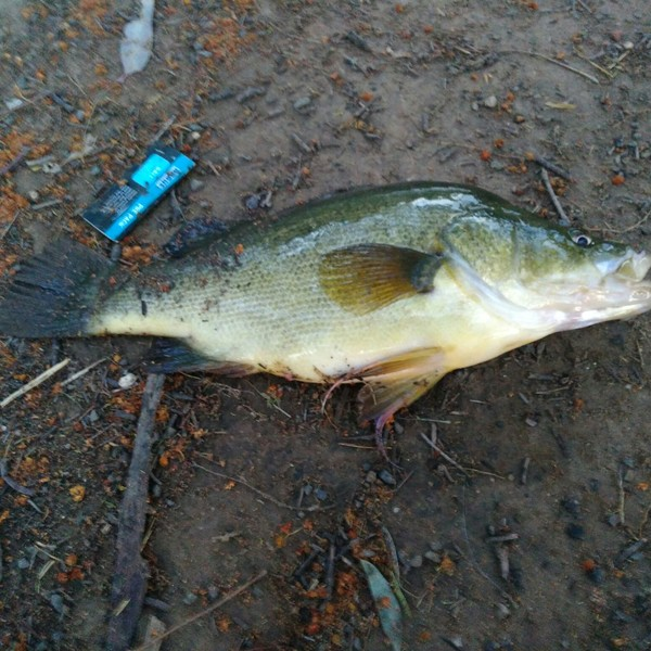 15 in Golden perch caught by lh Smith