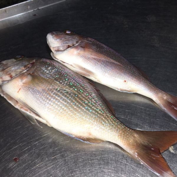 3 lbs Australasian snapper caught by Juanni Cincotta