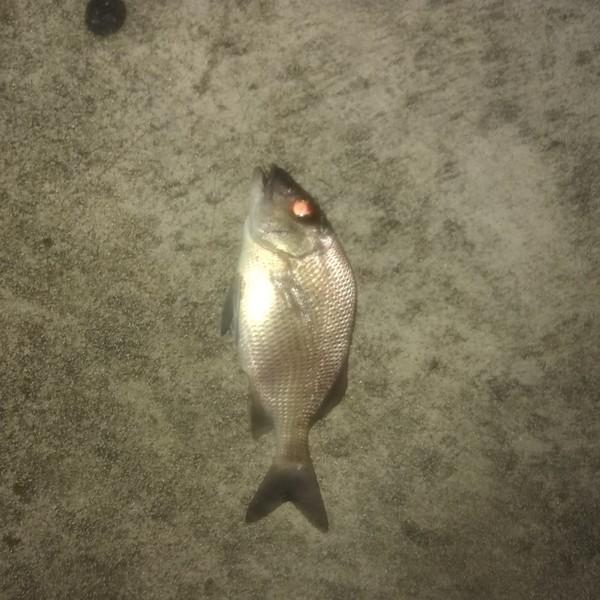 Australasian snapper caught by  Whitey Kropke