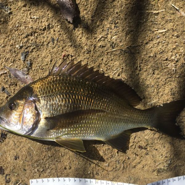 18 in Southern black bream caught by Tom Oliver