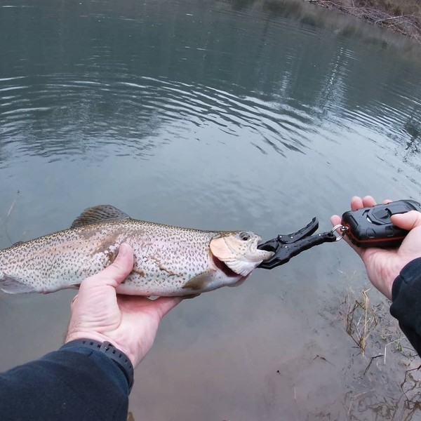 Rainbow trout caught by Chris Phelix