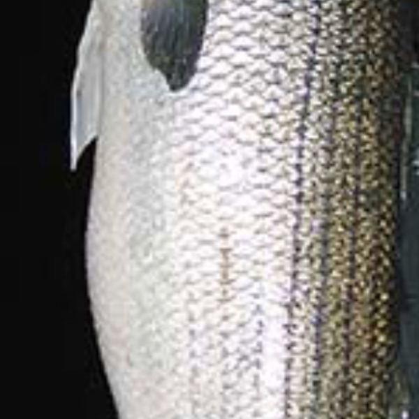 56 lbs Striped bass caught by Matt Arbo