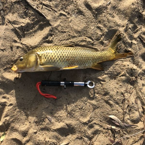 20 in Common carp caught by Derek McLaughlin