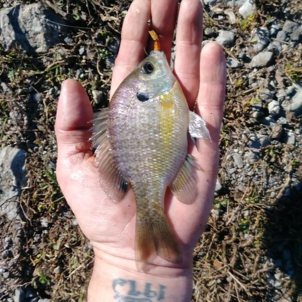 Bluegill caught by Jeff Walden