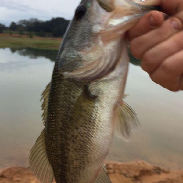 1.25 lbs Largemouth bass caught by Brian Watson