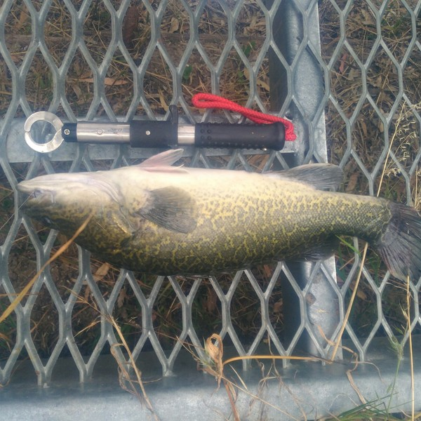 21 in Murray cod caught by Glen Vearing