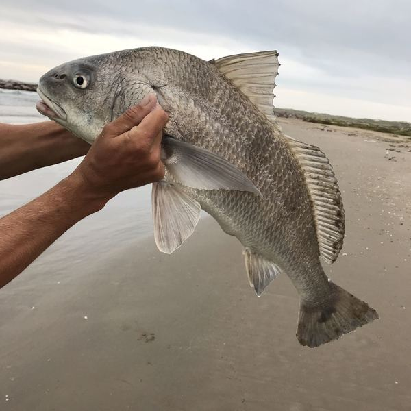 36 in Black drum caught by Zackery Williams