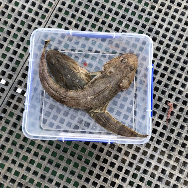 Dusky flathead caught by Jessica Fletcher