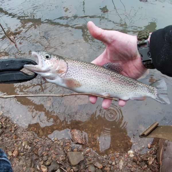 1.06 lbs / 12 in Rainbow trout caught by Chris Phelix