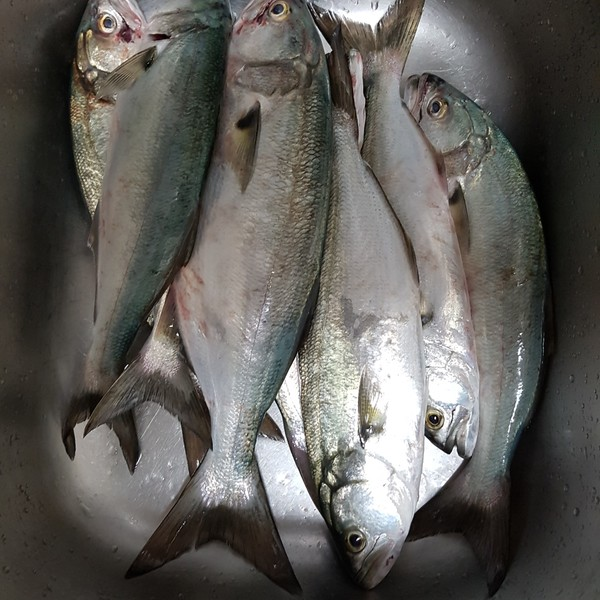16 in Bluefish caught by Sergey Belovolov