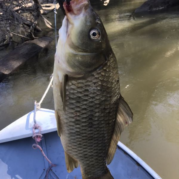 20 in Common carp caught by Jesse Stone