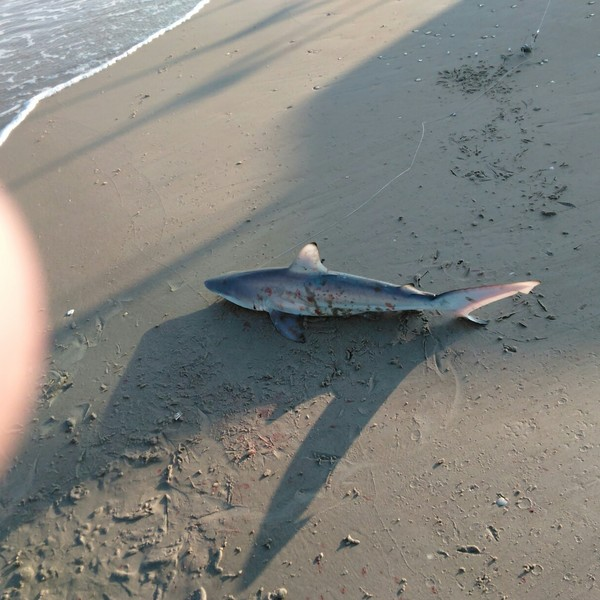 40 in Blacktip shark caught by Paul Cate
