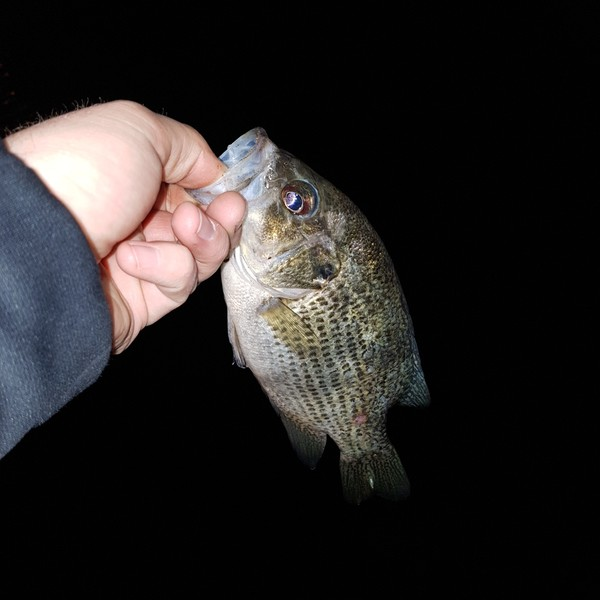 22.05 lbs Rock bass caught by mike whyte