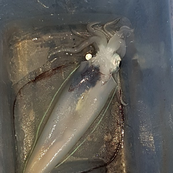 Southern calamari caught by Kerry-anne Stuart