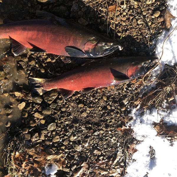 9 lbs Coho salmon caught by Mario Luna