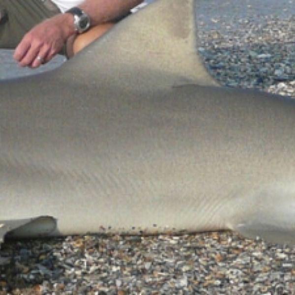 300 lbs / 90 in Bull shark caught by Erik Merkaj