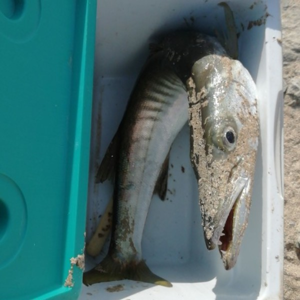 4.41 lbs Great barracuda caught by Mohamed Zaeem kazi