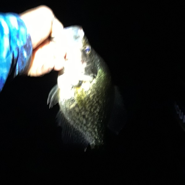 1.31 lbs / 13 in Black crappie caught by Jacob Middleton