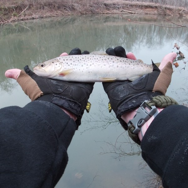 1 lbs / 12 in Brown trout caught by Chris Phelix
