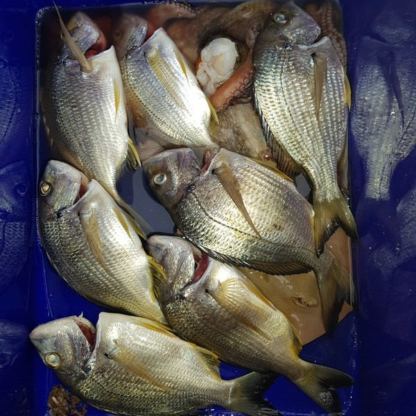 2 lbs / 14 in Surf bream caught by Roger Gebrail