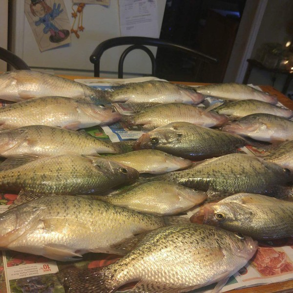White crappie caught by Amber Cowell