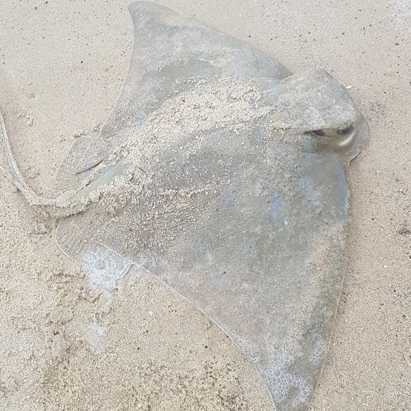 37 in Bluespotted ribbontail ray caught by Chuck Smith