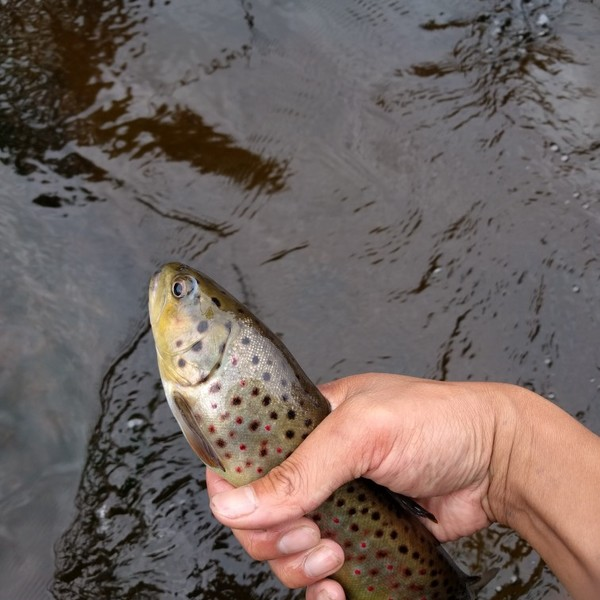 10 in Brook trout caught by Matthew Luk